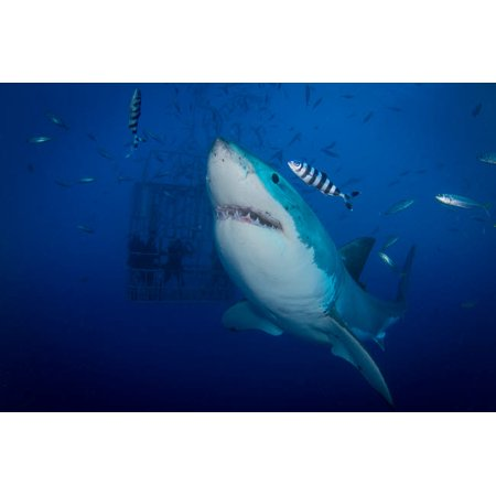 Great white shark and pilot fish Guadalupe Island Mexico Poster Print by Todd WinnerStocktrek Images