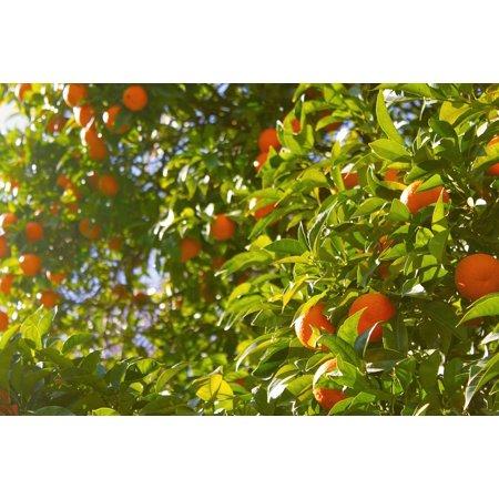 LAMINATED POSTER Tree Oranges Citrus Fruit Orange Tree Food Poster Print 24 x