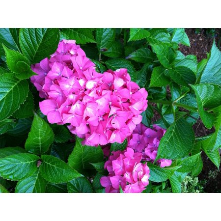 LAMINATED POSTER Hydrangea Flower Nature Garden Plant Floral Poster Print 24 x 36