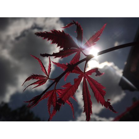 Framed Art For Your Wall Clouds Shadow Light Japanese Maple 10x13 Frame ()