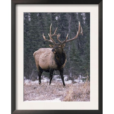Elk Deer Stag in Snow, Jasper National Park, Canada Framed Art Print Wall Art  - 15.5x19.