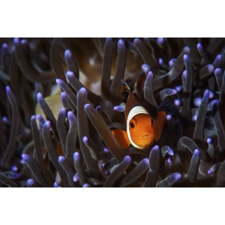 A clownfish in an anemone North Sulawesi Indonesia Poster Print by Brook PetersonStocktrek - Clownfish Anemone