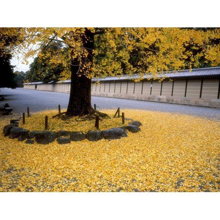 Ginko Leaves at Old Imperial Palace Print Wall Art