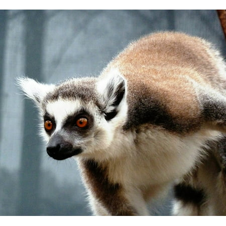 - LAMINATED POSTER Ring-tailed Lemur Smart Monkey Curious Animal Poster 24x16 Adhesive Decal