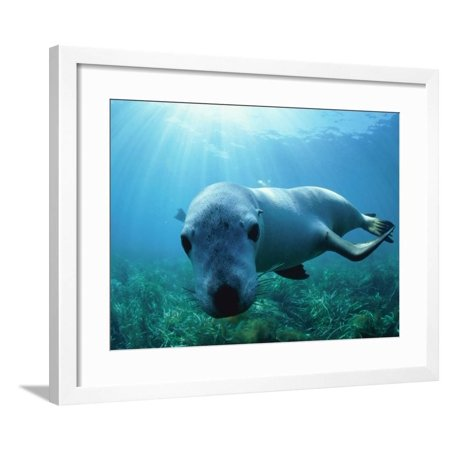Sea lion Framed Print Wall Art By Gary Bell
