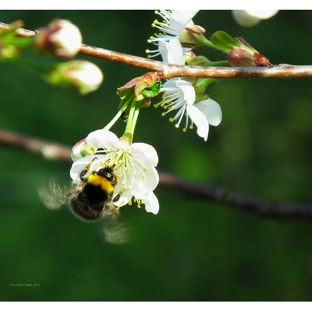 Canvas Print Bumblebee Cherry Blossom Bee Cherry Tree Insect Stretched Canvas 10 x 14 ()