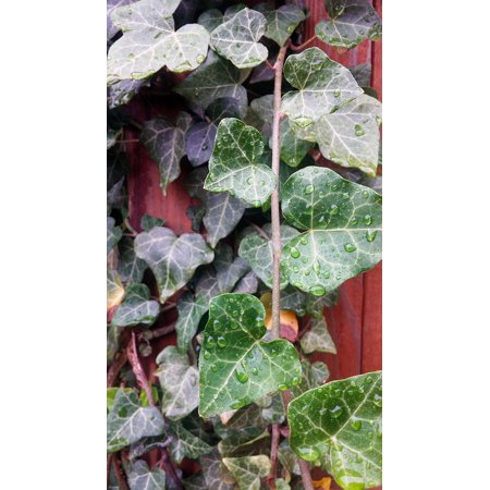 Peel-n-Stick Poster of English Leaves Green Ivy English Ivy Creeping Poster 24x16 Adhesive Sticker Poster Print