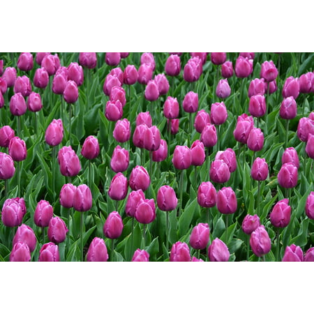 Peel-n-Stick Poster of Pink Tulips Blossoms Magenta Flowers May Spring Poster 24x16 Adhesive Sticker Poster Print