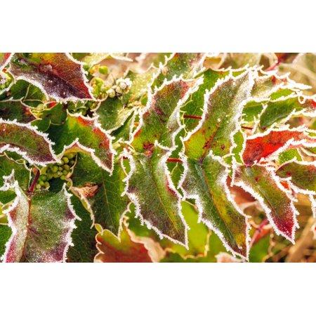Frost-covered Oregon Grape shrubs in Spring, Mt. Scott, Oregon Print Wall Art By Stuart -