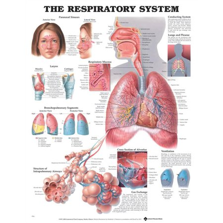 Respiratory System. 20X26 Paper Chart.
