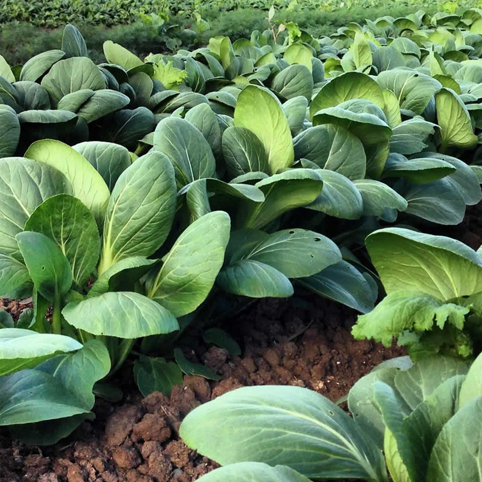 White Stem Pak Choi Cabbage Seeds: 25 Lb Bulk, Non-GMO Pakchoi Sprouting Seeds Microgreens, Vegetable Gardening by Mountain Valley Seed Company