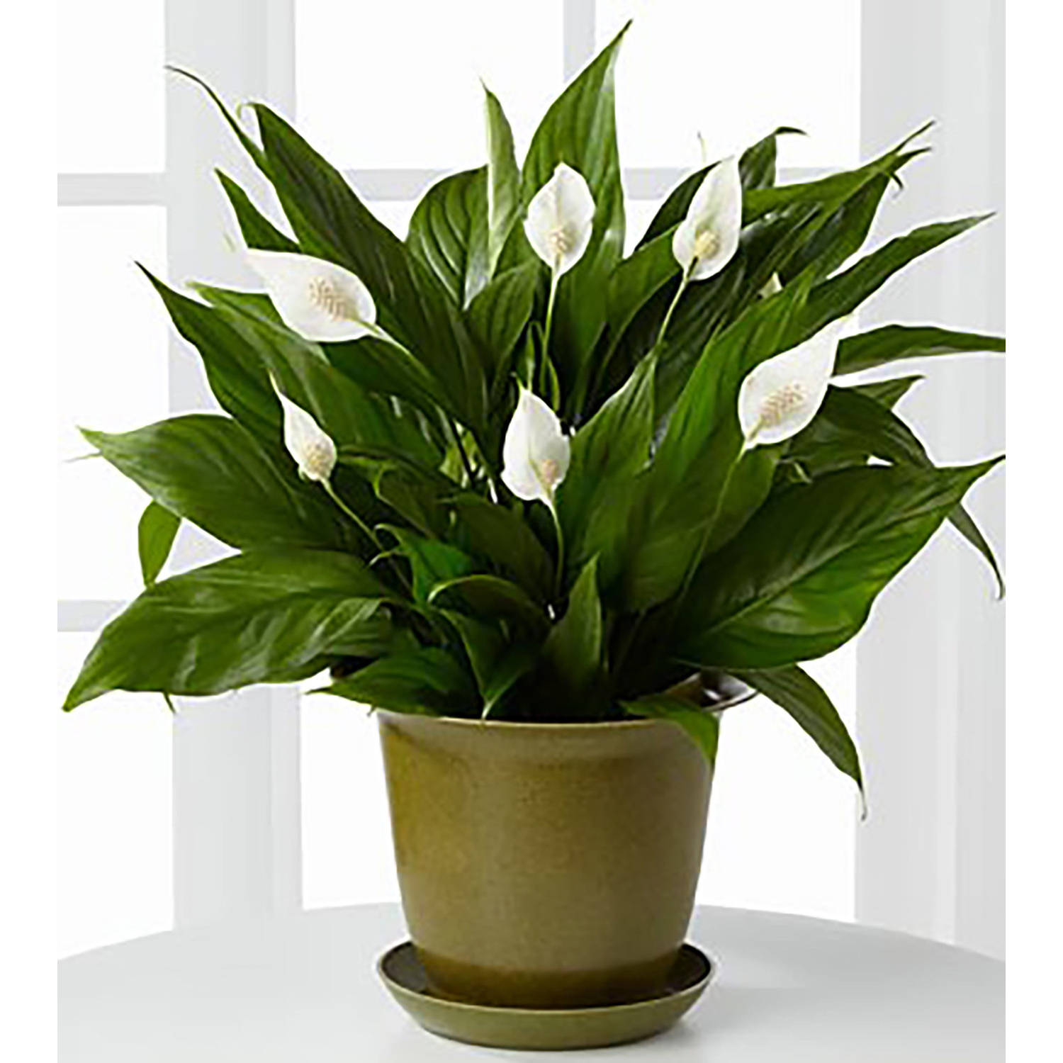 Delray Plants Spathiphyllum Peace Lily Easy Care Live House Plant