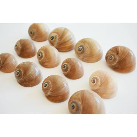 Set of 24 Select Whales Eye Moon Shells Seashells (1.5-2
