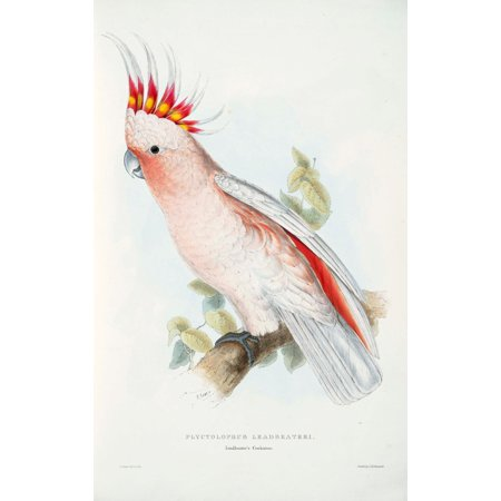 Psittacidae 1832 Leadbetters Cockatoo Poster Print By  Edward Lear
