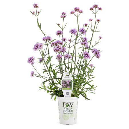 Proven winners meteor shower verbena live plant light purple flowers proven winners meteor shower verbena live plant light purple flowers set of 4 mightylinksfo
