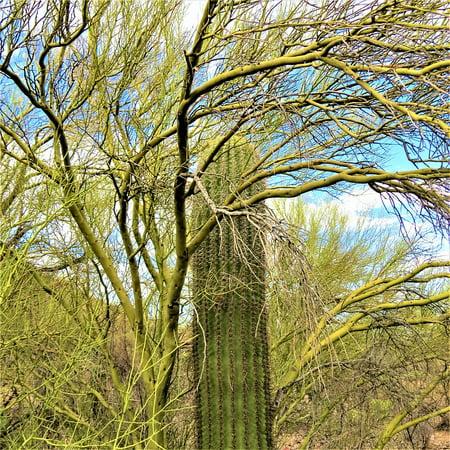 LAMINATED POSTER Cactus Saguaro Arizona Green Trees Sky Poster Print 24 x (Saguaro Night Light)
