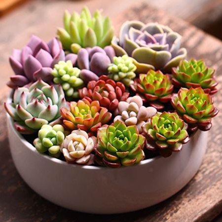 100pcs/Bag Succulent Plant Seeds Flower Seeds for Living Room Home Garden Plant Seeds