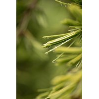 Framed Art for Your Wall Cedar Green Leaves Raindrop Needles Close 10x13 Frame