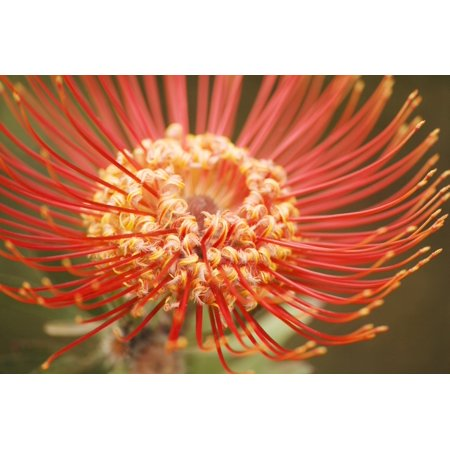 Posterazzi Hawaii Upcountry Maui Extreme Close-Up Of Red Pin Cushion Protea Canvas Art - Ron Dahlquist Design Pics (34 x 22)