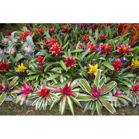 Image of Bromeliad In 5in Pot