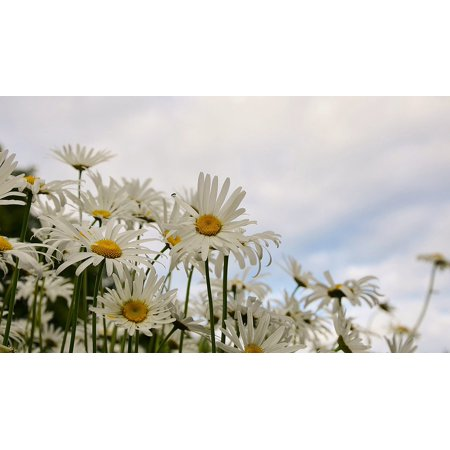Marguerite Daisy - LAMINATED POSTER Flower Marguerite Plant Spring Bloom Daisy Poster Print 24 x 36
