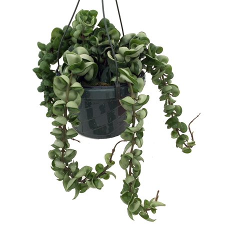Indian Hindu Rope Plant Hoya Carnosa Compacta 8 Hanging Basket