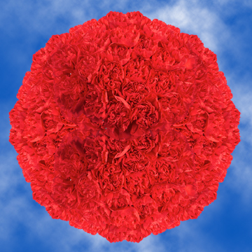 GlobalRose 350 Fresh Cut Red Carnations - Fresh Flowers Wholesale Express Delivery
