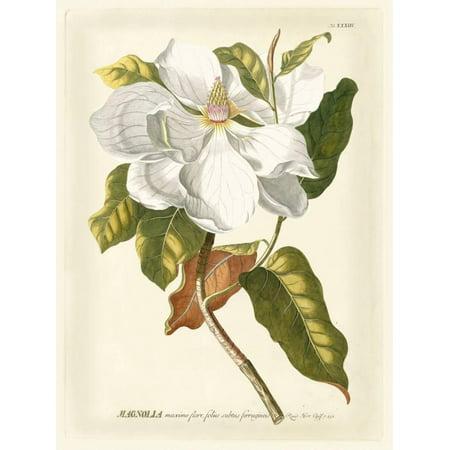 Magnificent Magnolias I White Flower Vintage Botanical Illustration Print Wall Art By Jacob Trew ()