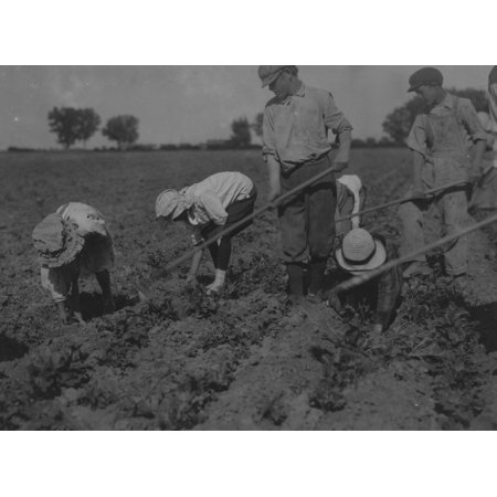 Three adults and six children from seven years to twelve years hard at work on a sugar beet farm near Greeley Colorado The father said The children can thin the beets better than grown ups We all