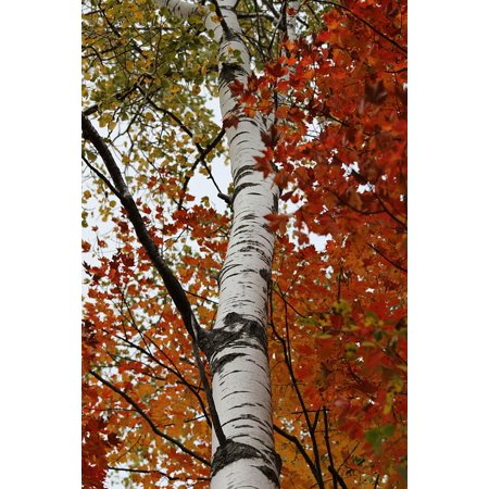 LAMINATED POSTER Fall Colors Trunk Birch Tree White Bark Birch Leaf Poster Print 24 x 36