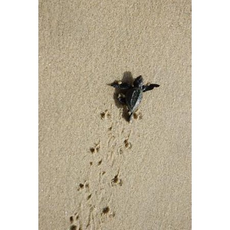 Baby Sea Turtle on the Move Journal : 150 Page Lined - Sea Babies