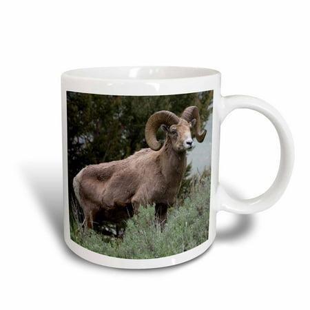 3dRose Rocky Mountain Bighorn Sheep, Ram - Ceramic Mug, 11-ounce