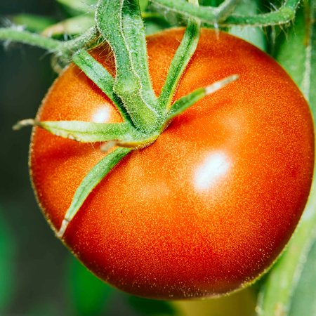 Tomato Garden Seeds - Bonny Best - 0.25 Oz - Non-GMO, Heirloom Vegetable Gardening