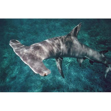 Great Hammerhead Shark Print Wall Art