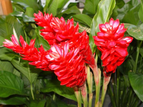 HAWAIIAN TROPICAL PINK GINGER PLANT ROOT ~ GROW HAWAII