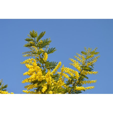 Peel-n-Stick Poster of Garden Mimosa Yellow Flower Flowers Yellow France Poster 24x16 Adhesive Sticker Poster Print