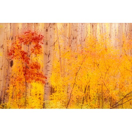 Autumn Forest wBirch Trees Canada Poster Print