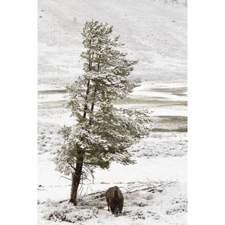 A Buffalo Alone In A Winter Landscape In Lamar Valley In Yellowstone National Park Wyoming Usa Canvas Art - Richard Wear  Design Pics (13 x