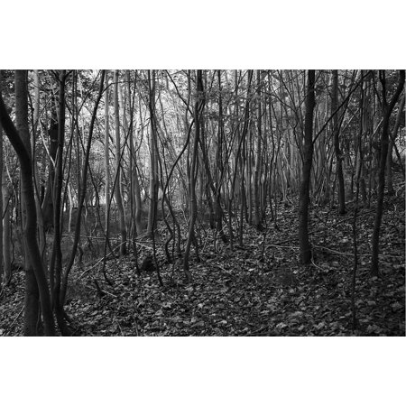 LAMINATED POSTER Trees Woods Nature Forest Black And White Poster Print 24 x 36