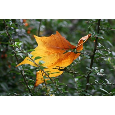 LAMINATED POSTER Autumn Autumn Leaf Foliage Bush Holidays Tan Poster Print 24 x 36