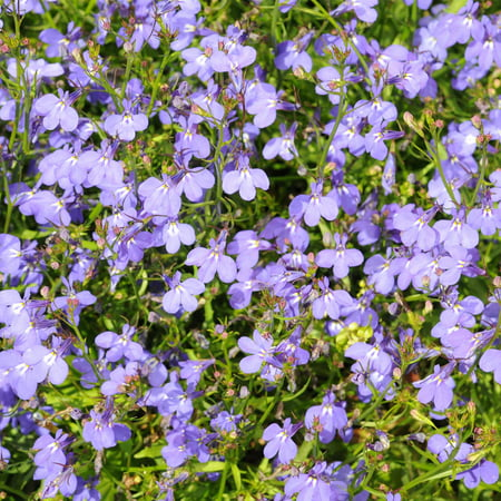 Lobelia Flower Garden Seeds Regatta Series Lilac 1000 Seeds