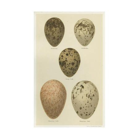Seebohm Eggs (Antique Bird Egg Study IV Print Wall Art By Henry Seebohm )