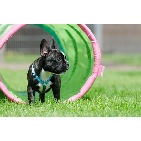 Canvas Print Tunnel Sweet French Bulldog Cute Meadow Puppy Stretched Canvas 10 x (French Bulldog Puppies For Sale In Phoenix)