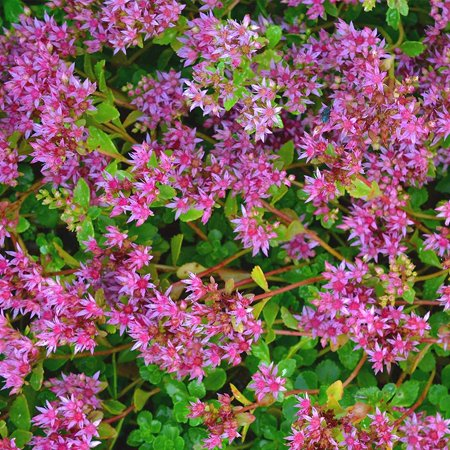 Decorative House Plants - Sedum Seeds - Dragons Blood - 1000 Seeds - Rose Colored Star Flowers - Perennial Decorative Groundcover House Plant - Flower Garden - Sedum.., By Mountain Valley Seed Company Ship from US