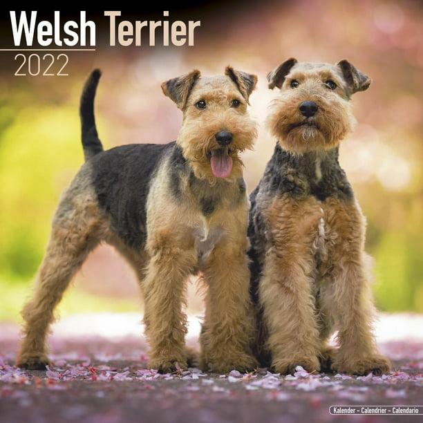 Calendrier Play Off Nba 2022 Welsh Terrier Calendar 2022   Welsh Terrier Dog Breed Calendar