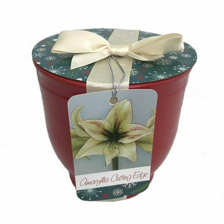 Cutting edge amaryllis bulb in ceramic planter bow gift for Amaryllis planter bulbe