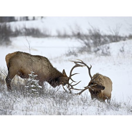 Two Bull Elk (Cervus Canadensis) Sparring in the Snow, Jasper National Park, Alberta, Canada Print Wall Art By James Hager