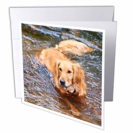 3drose purebred golden retriever dog na02 pwo0091 piperanne 3drose purebred golden retriever dog na02 pwo0091 piperanne worcester greeting cards 6 m4hsunfo