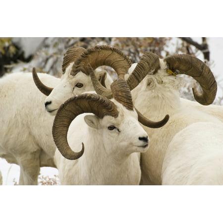 Group Of Dall Sheep Denali National Park Interior Alaska Fall Posterprint