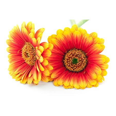 LAMINATED POSTER Gerbera Macro Nature Bloom Blossom Flower Cut Out Poster Print 24 x - Flower Cut Outs